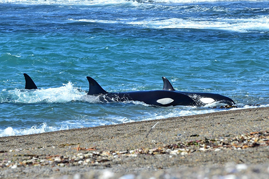 orcas en chubut