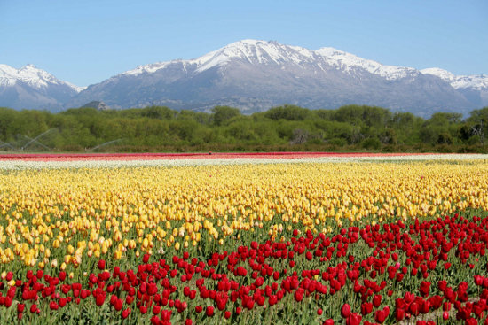 tulipanes patagonia