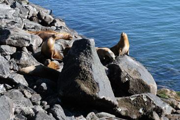 Lobos marinos en puerto de Comodoro