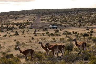 Guanacos en la meseta