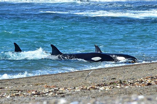 orcas chubut