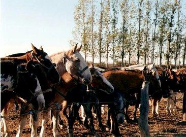 caballos fiesta ternero