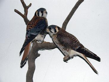 museo ornitologico, el bolson