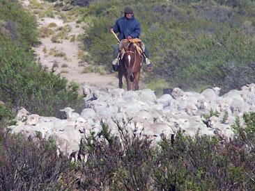 ovejas en Maquinchao
