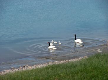 cisnes en piedrabuena