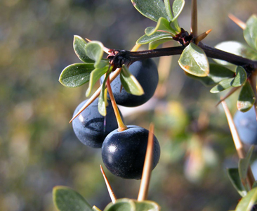 fruto-calafate