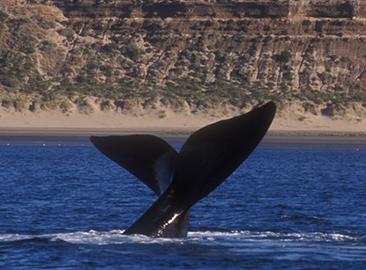 ballenas en madryn