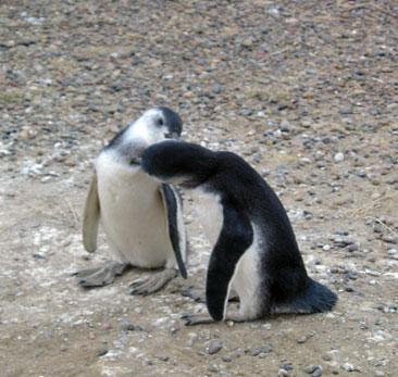 pinguinos, chubut