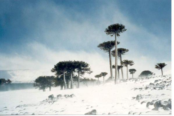 Araucarias en Caviahue